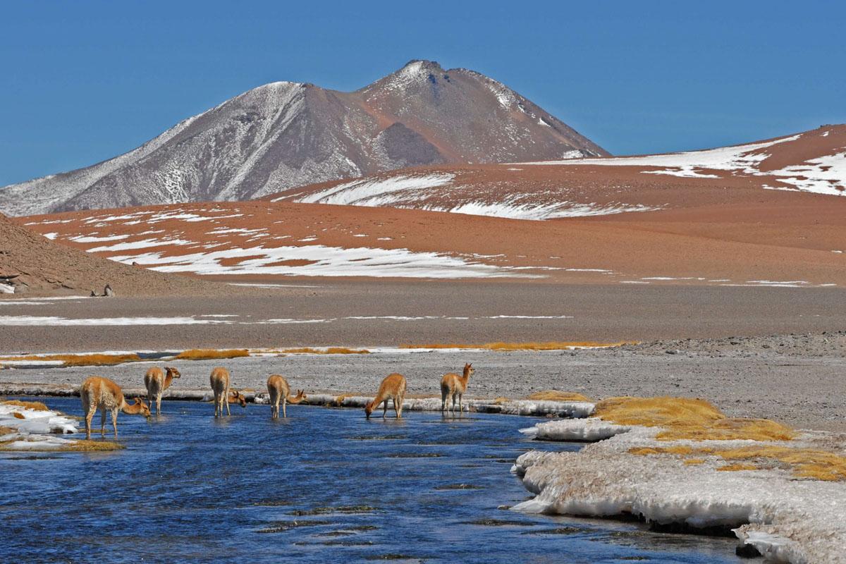 Chile_Alpaka